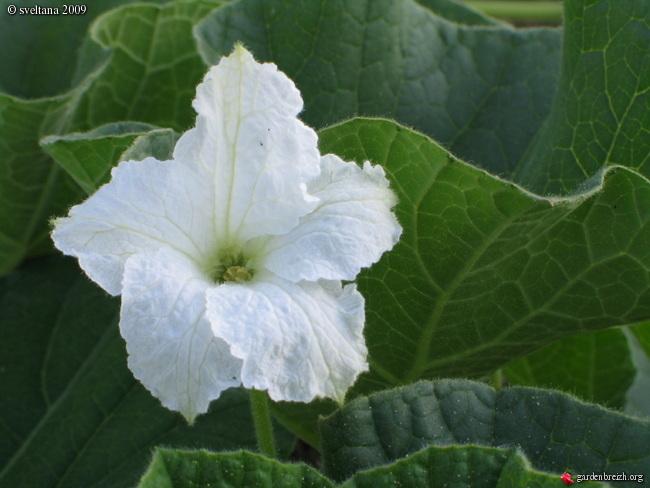 Lagenaria flower