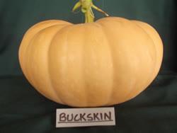 buckskin -  America