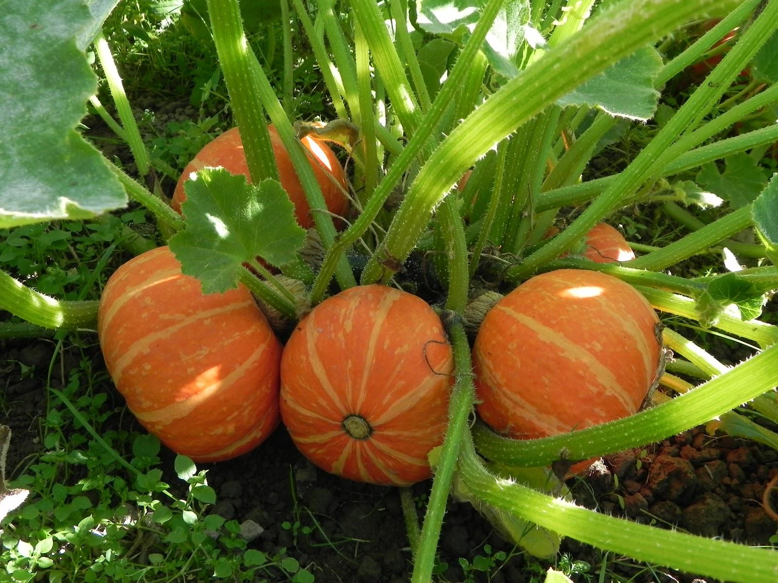 Orange Cutie Buttercup