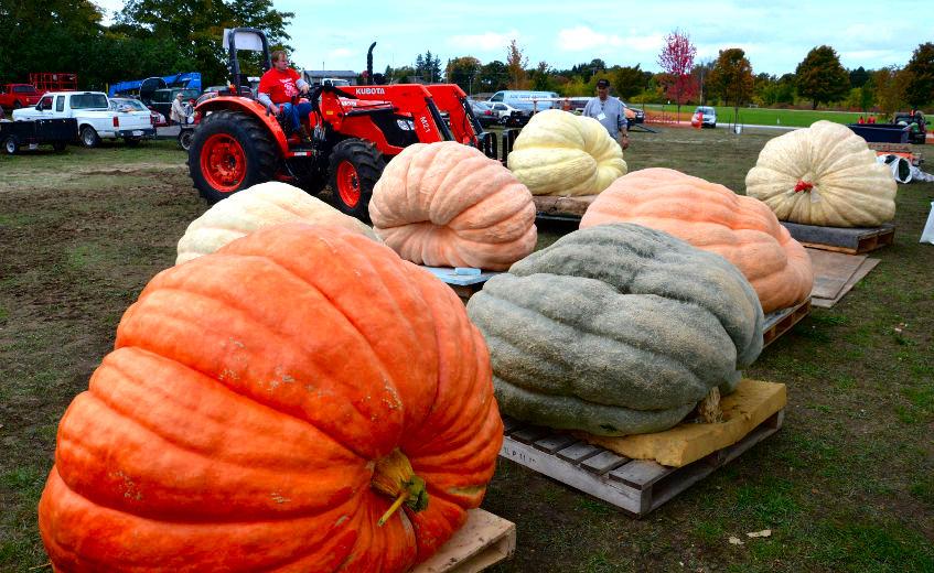 Giant Pumpkin Weigh In at Port Elgin