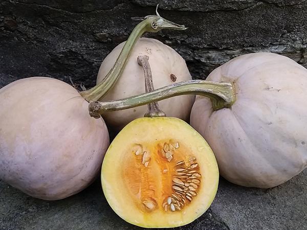 Quaker Pie Pumpkin