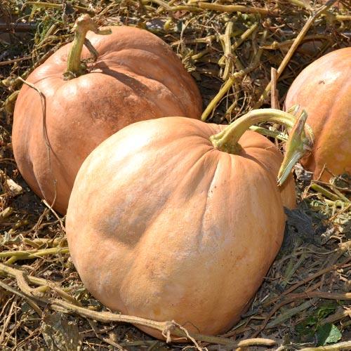 Upper Ground Sweet Potato