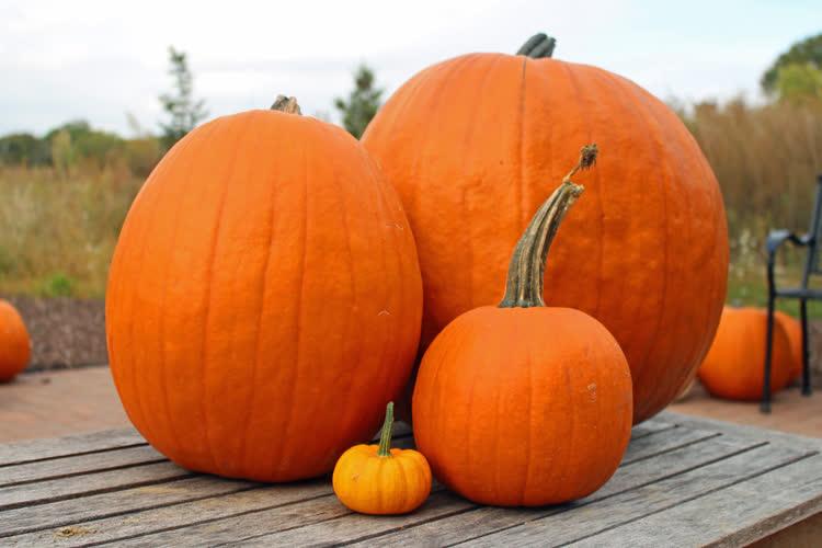 Pie Pumpkins (Jack O'Lantern)