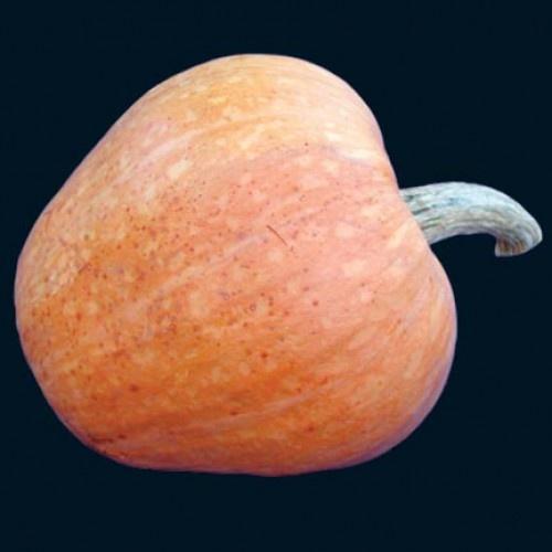 Amish Pie Pumpkin