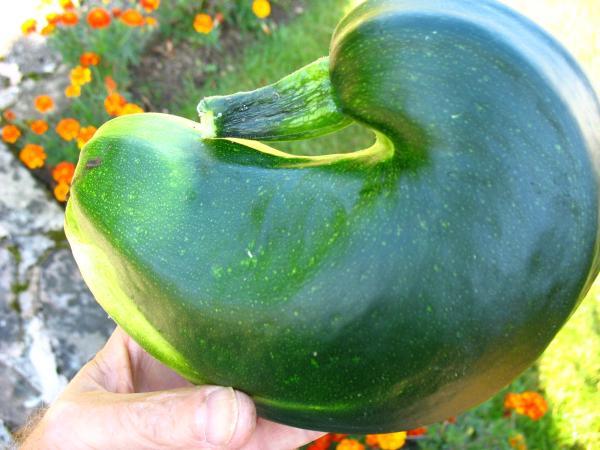 Duck zucchini