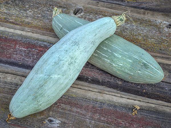 Guatemalan Blue Banana