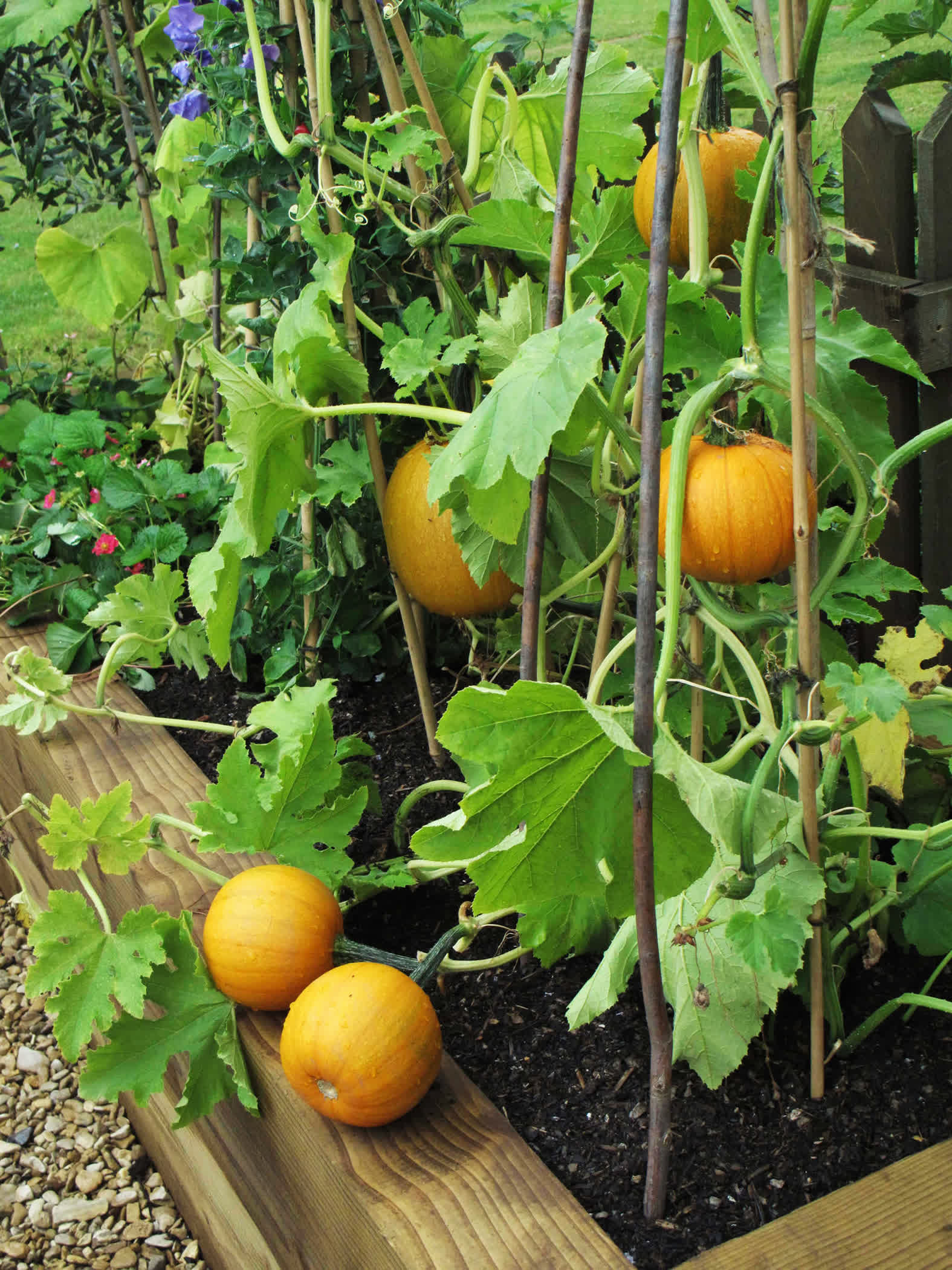 Growing miniature Jack B. Little and Baby Boo pumpkins takes up a whole lot less space. Many people grow them along fences, on trellises, or down from a balcony or deck.