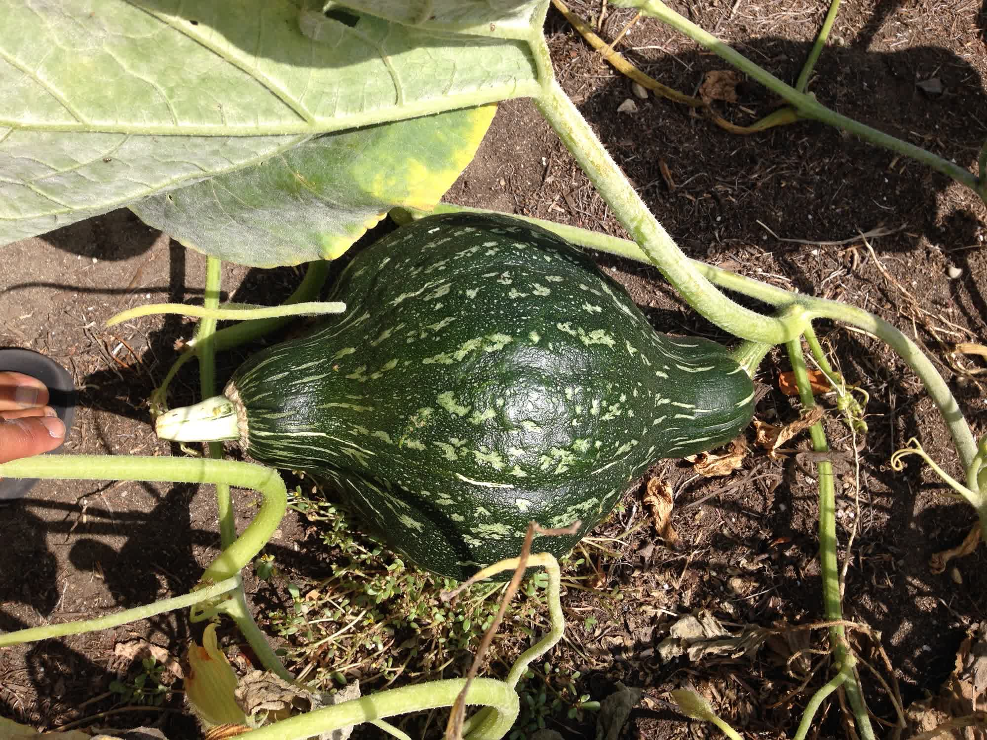 Green Hubbard Squash